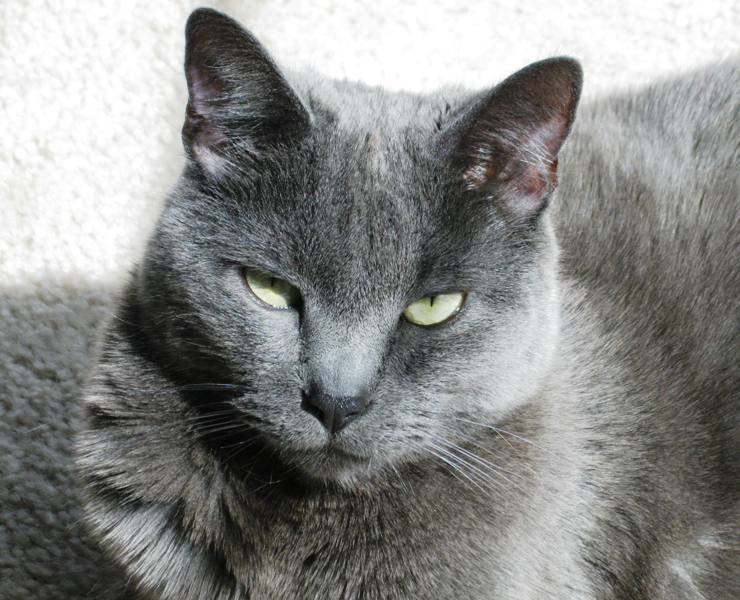 Pin Russian-blue-mix-a-siamese-mixed-short-coat-photo on ...