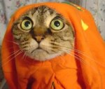 Cat in Halloween pumpkin costume