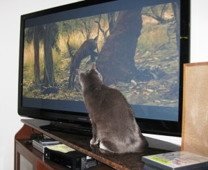 Russian Blue Cat watching TV close-up